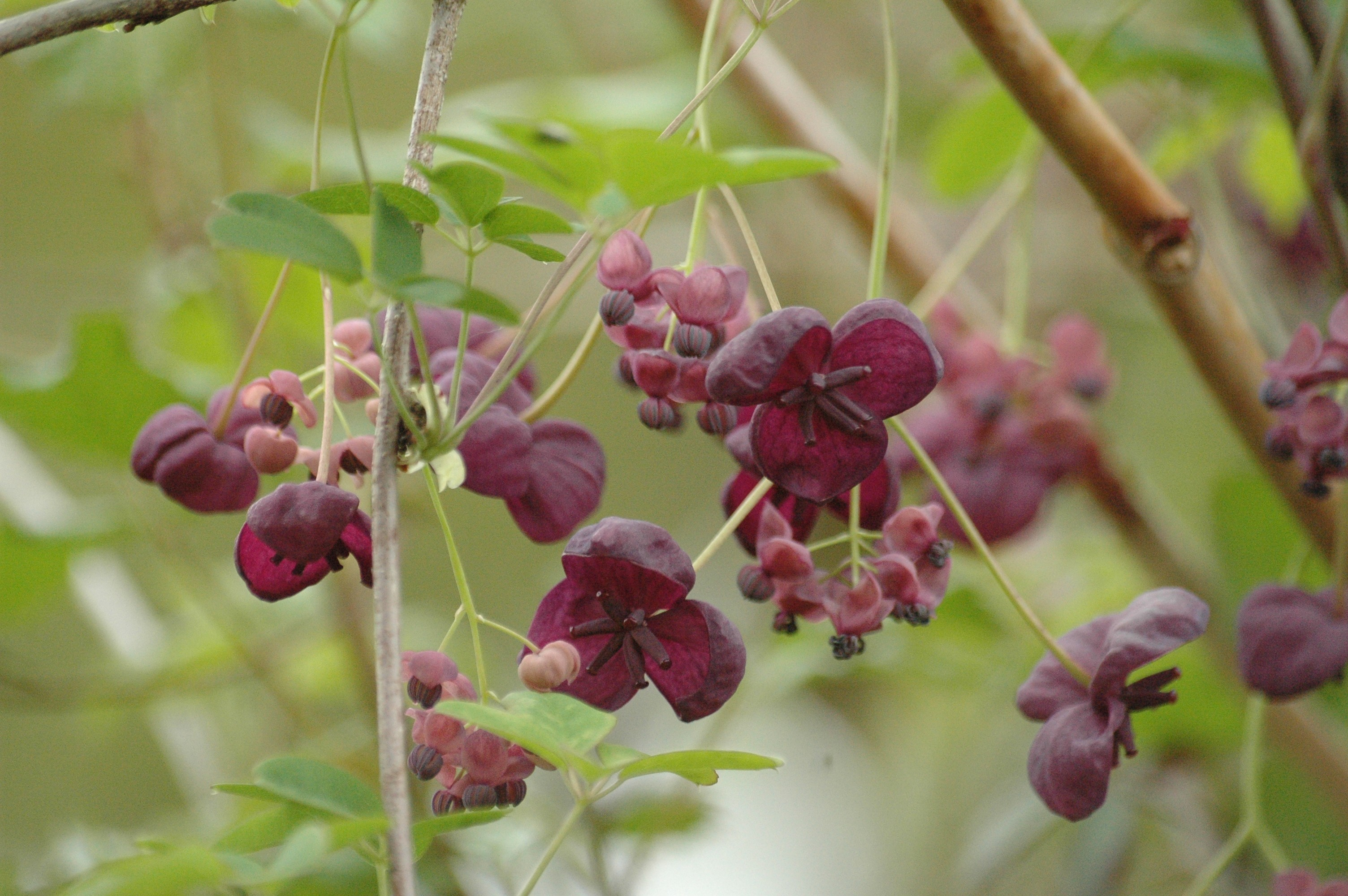 Plantes grimpantes Jardins du Monde