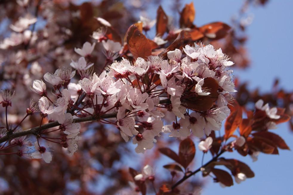 cerisier pourpre fleur prunus pissardii nigra. Black Bedroom Furniture Sets. Home Design Ideas