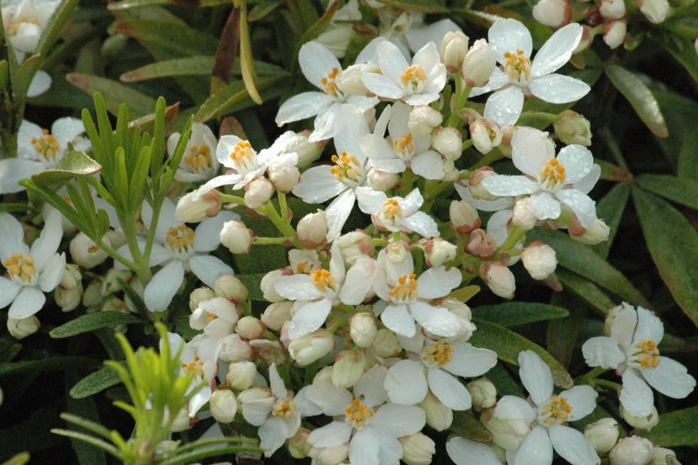 Oranger du mexique nain choisya white dazzler - Oranger du mexique taille ...