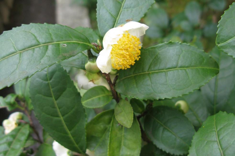 Tea shrub
