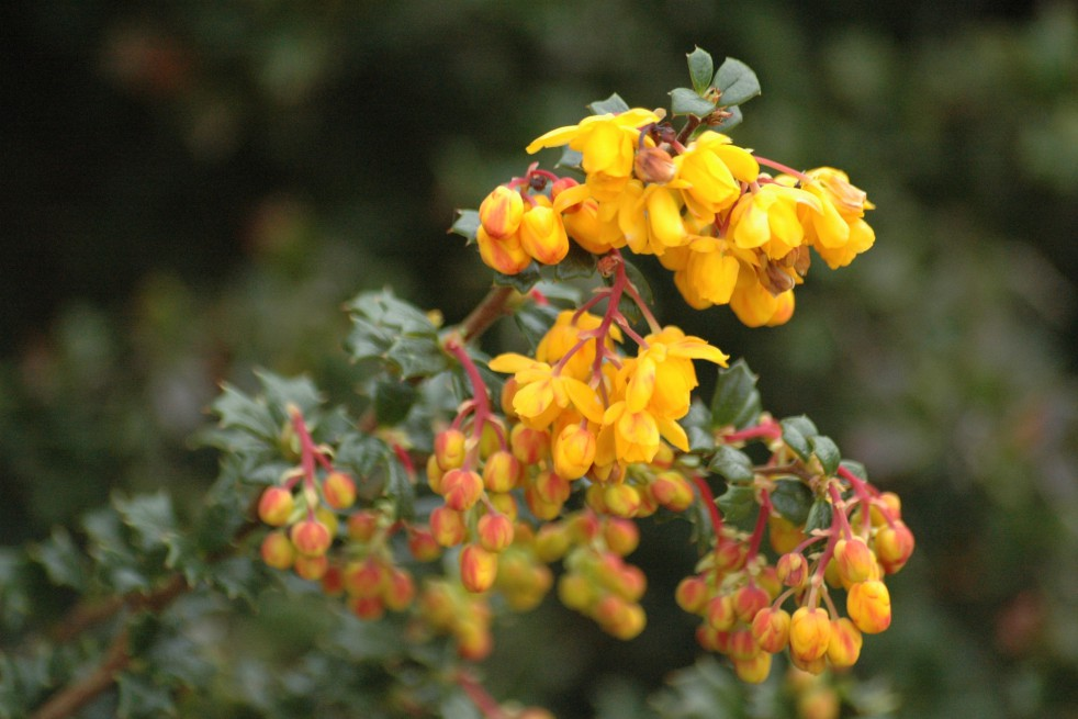 Dwarf Darwins Barberry