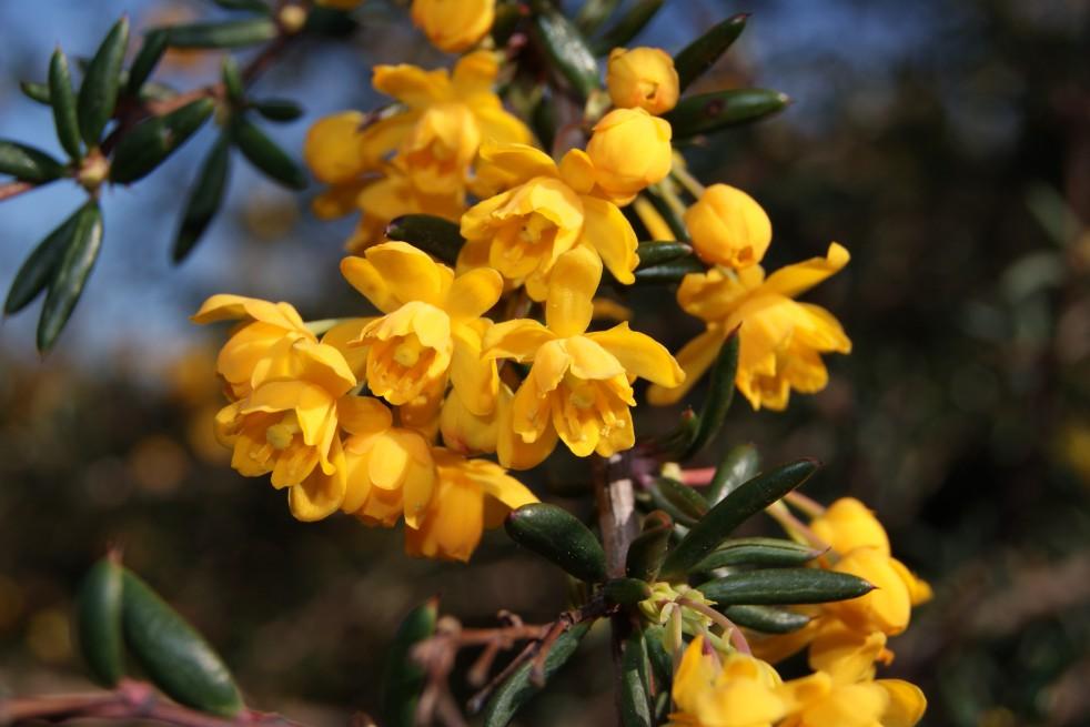 Zuurbes Stenophylla