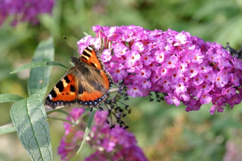 Butterfly-bush, pink