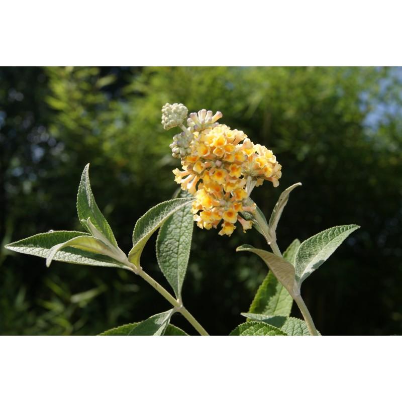 Butterfly Bush Buddleia Weyeriana Sungold