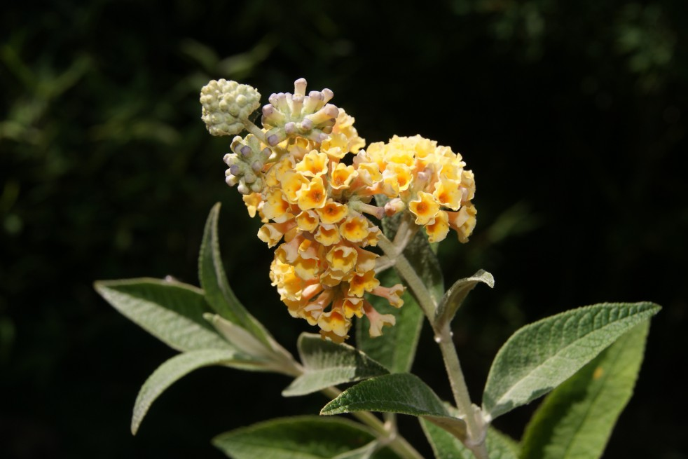 Butterfly Bush Buddleia Weyeriana Sungold
