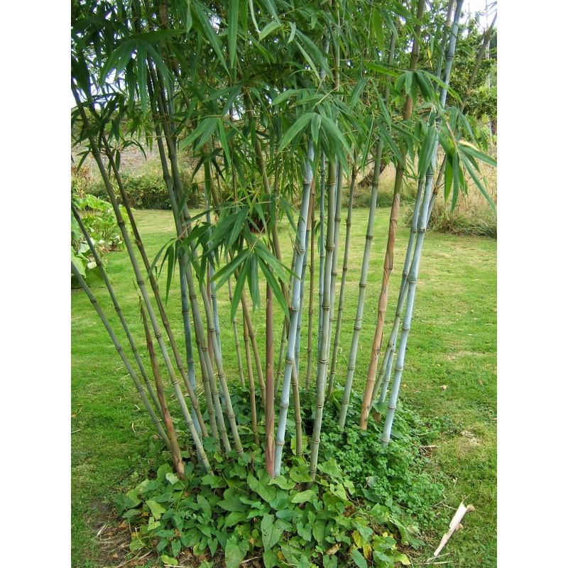 Bamboo Fargesia Blue Dragon