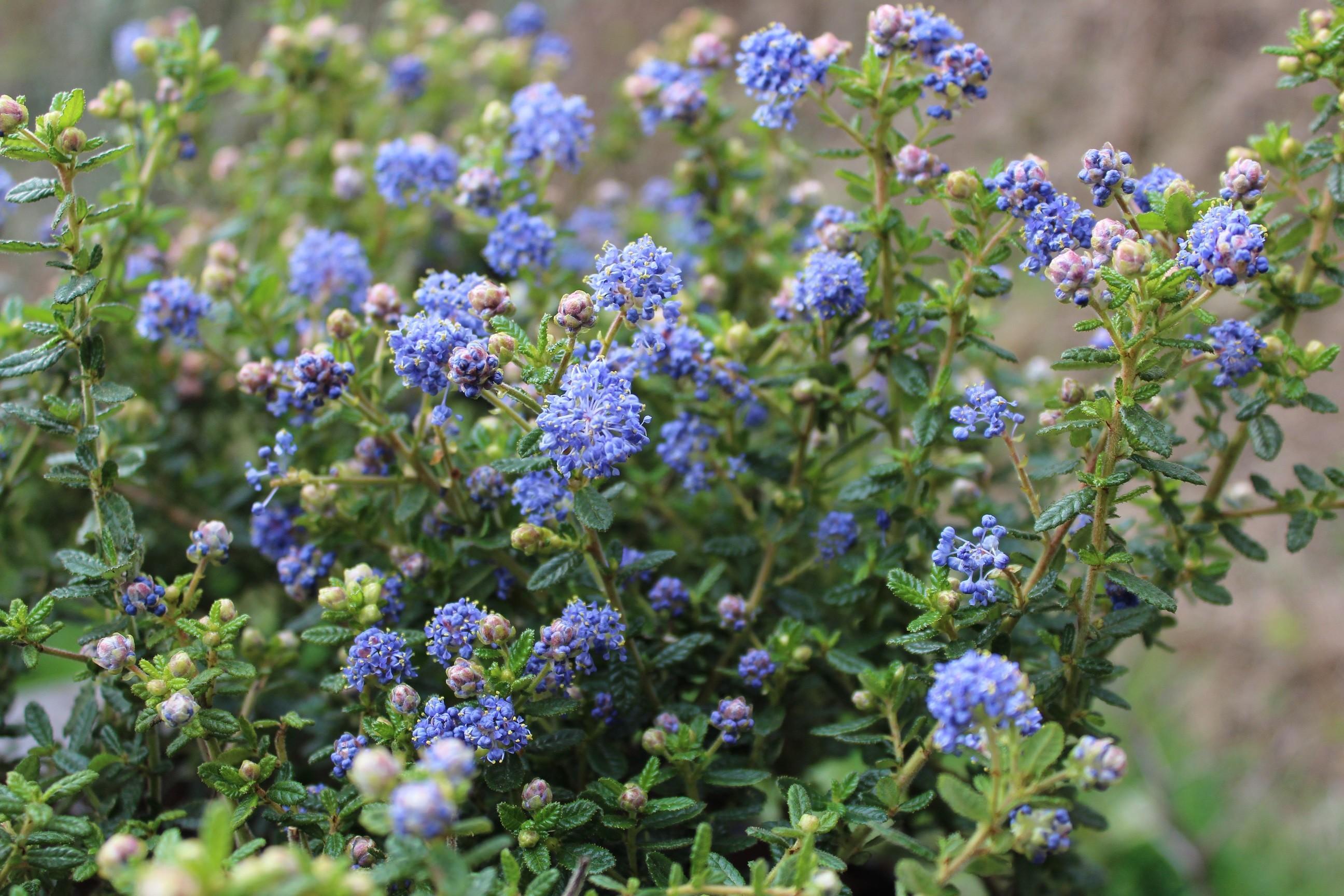 lilas de californie puget blue - ceanothus impressus puget blue