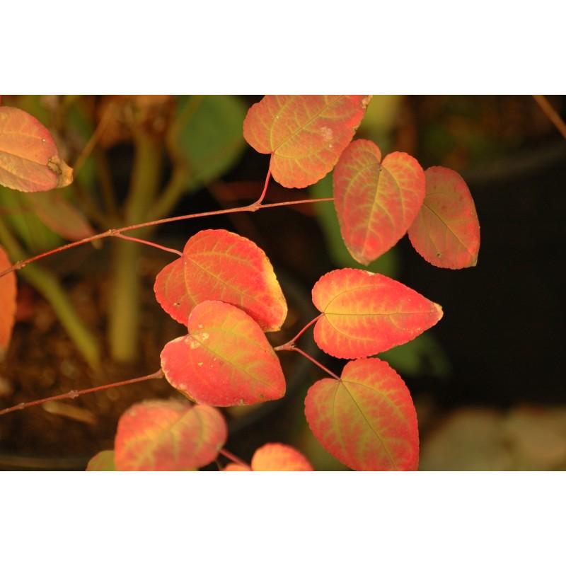 Japanese Katsura Tree Cercidiphyllum Japonicum