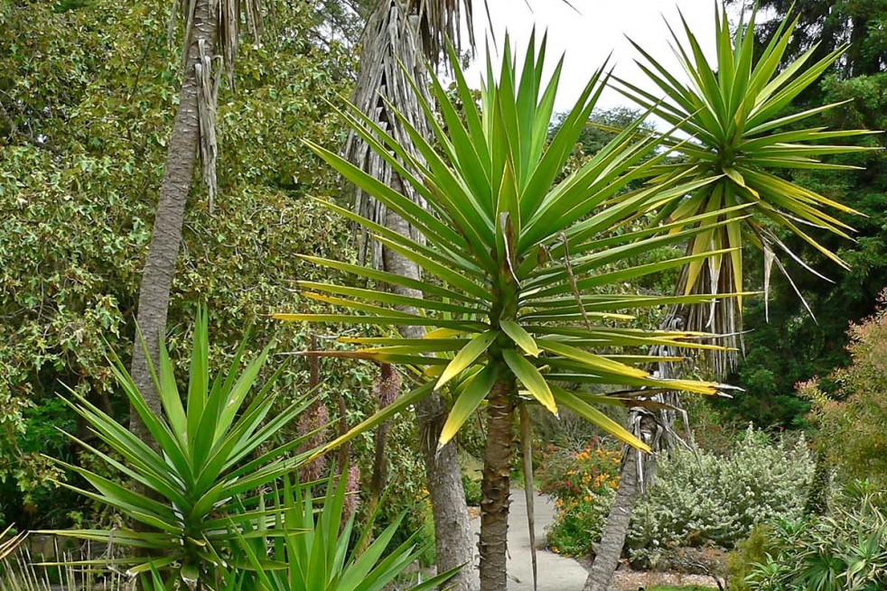 Aloe yucca