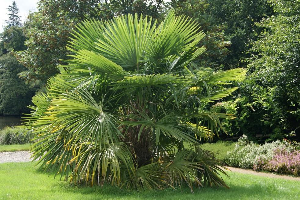 palmier de chine trachycarpus fortunei. Black Bedroom Furniture Sets. Home Design Ideas