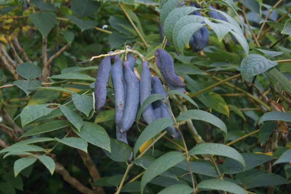 Arbre aux haricots bleus - Decaisnea Fargesii