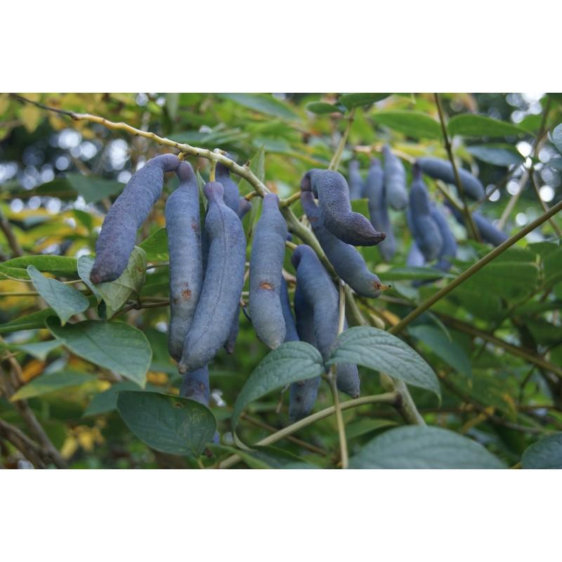 Blue Bean Decaisnea Fargesii