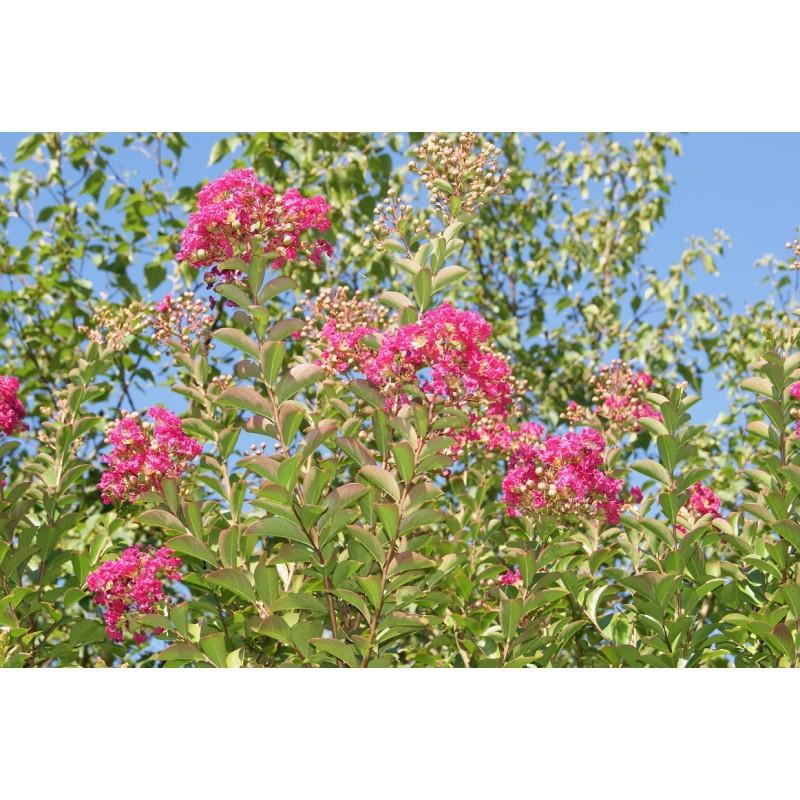Crepe Myrtle Crepeflower Lagerstroemia Indica Etoile Rouge