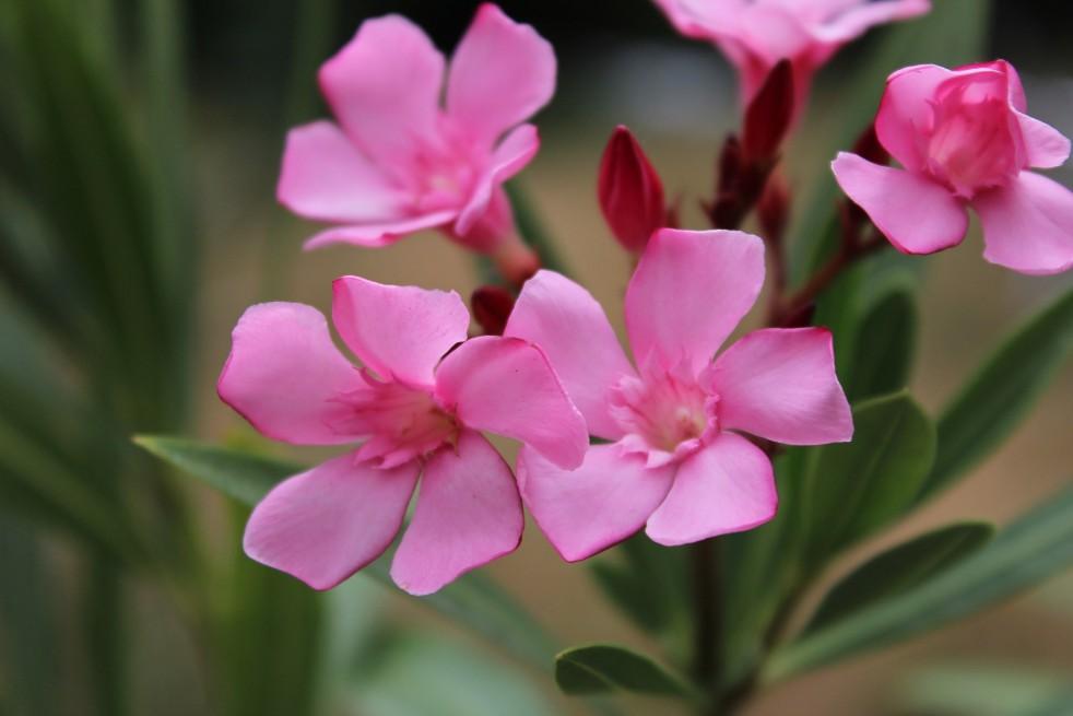 Nerium - Rose laurel Atlas