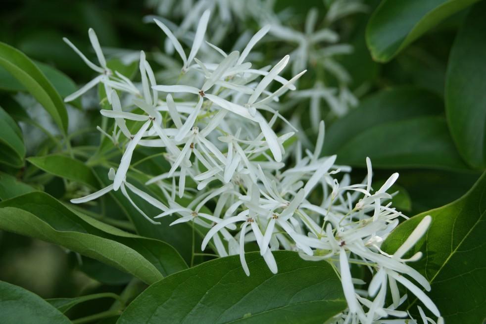 Chionanthus virginicus - White fringetree