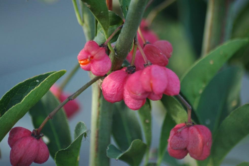 Euonymus Europaeus Red Cascade - Fusain d'Europe Red Cascade
