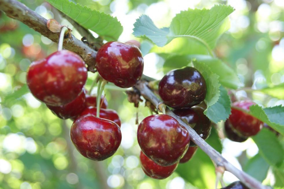 Cherry tree BigarreauVan
