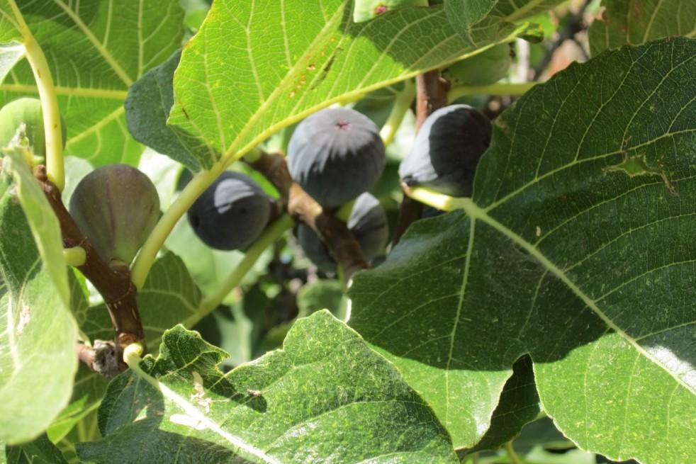 Fig tree violette de Sollies