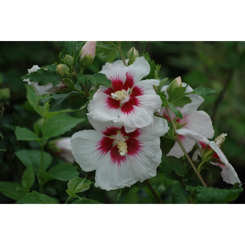 Hibiscus - Hibiscus Syriacus