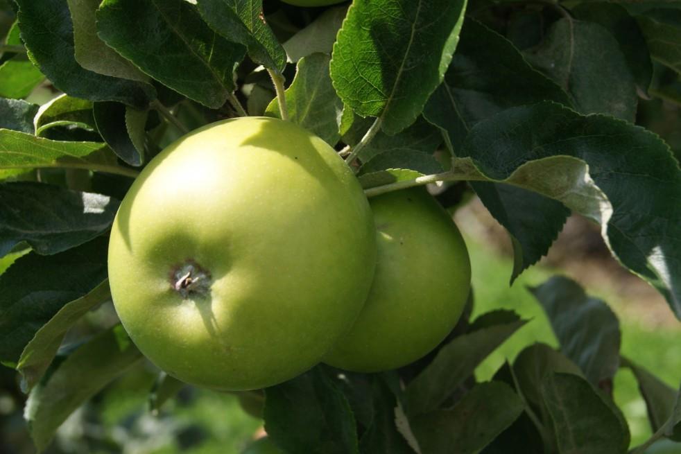 Granny Smith appelboom