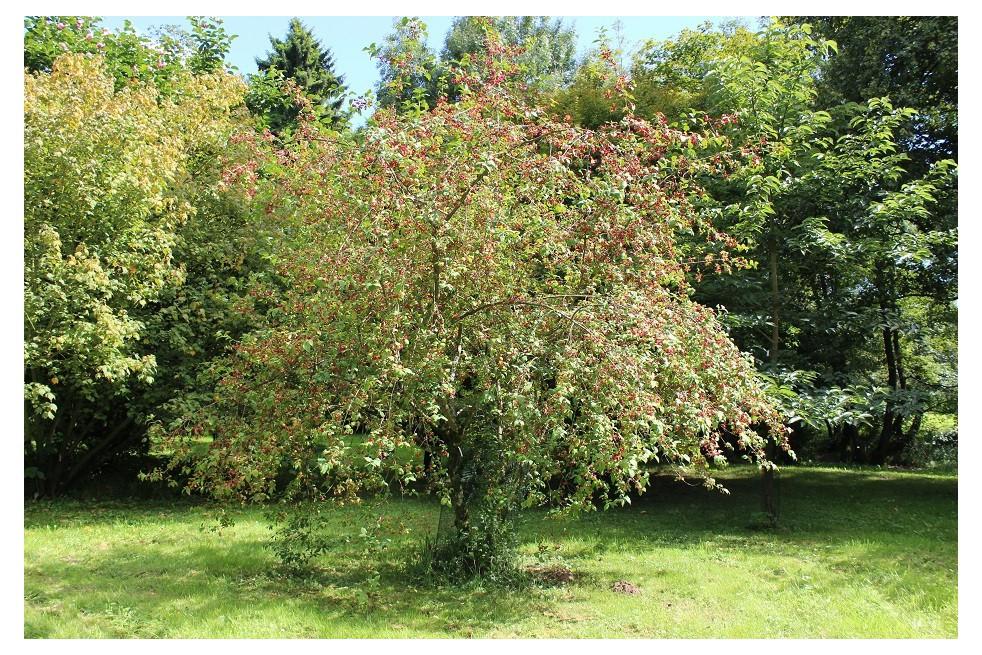 European Spindle Euonymus Europaeus