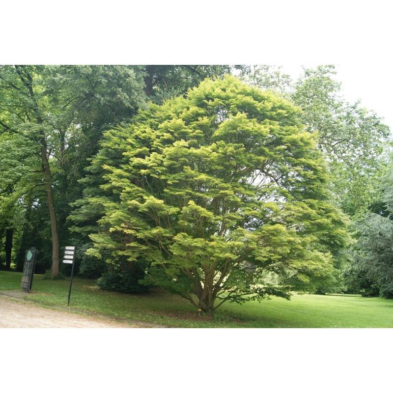 Rable du japon acer palmatum - L erable du japon ...