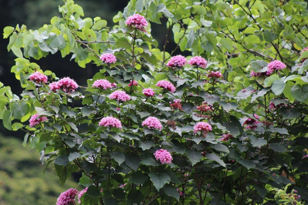 Rose Glory Bower Clerodendron Bungei