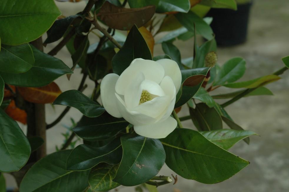 Evergreen Magnolia, double flower