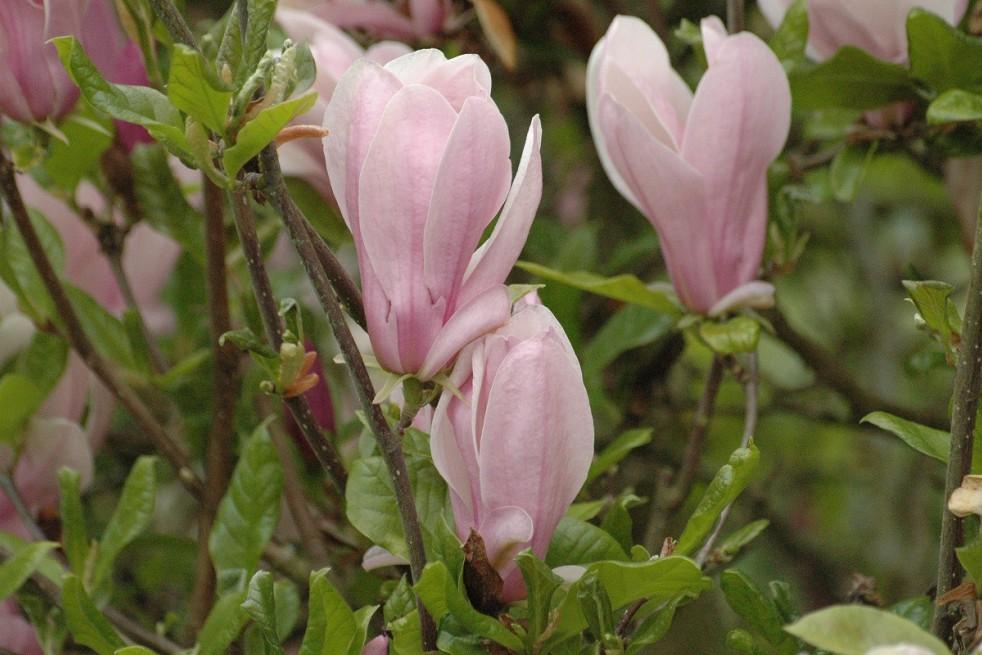 Magnolia Kosar De Vos Georges Henri Kern