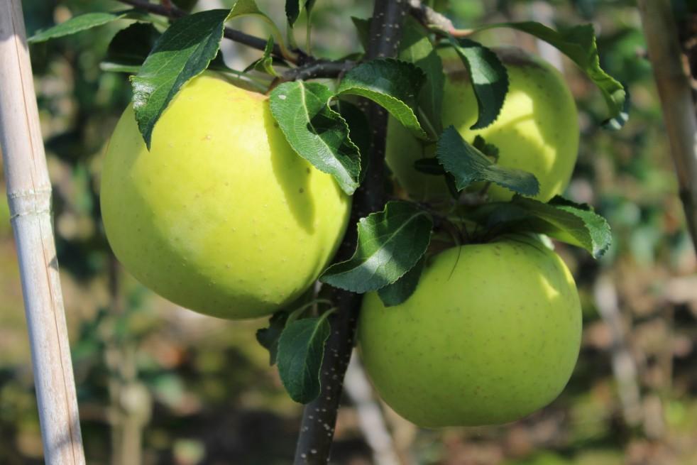 Greensleeves apple tree
