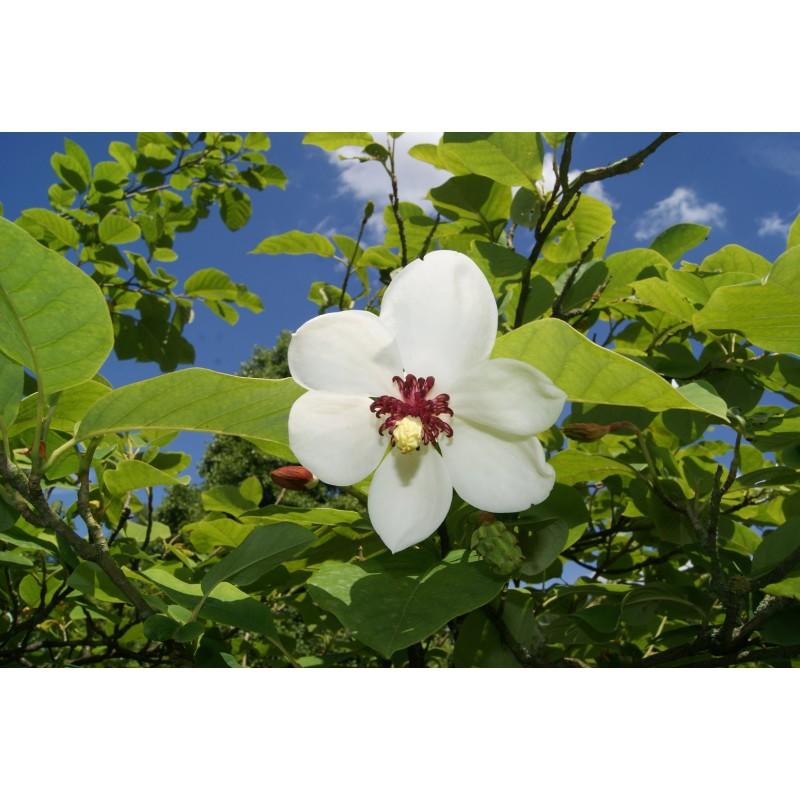 Siebolds Magnolia Magnolia Sieboldii