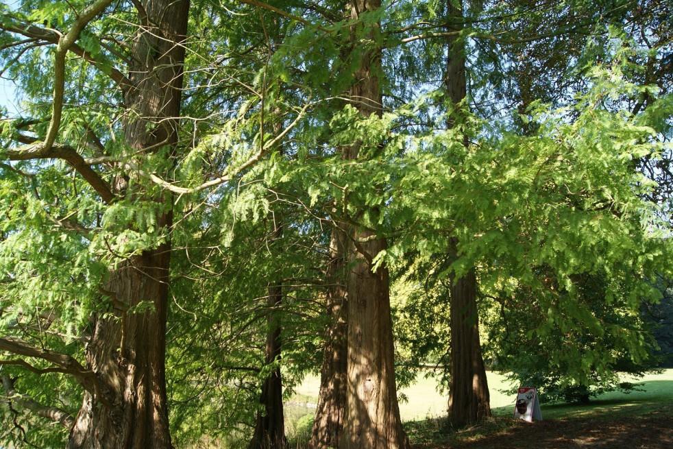 Bald cypress