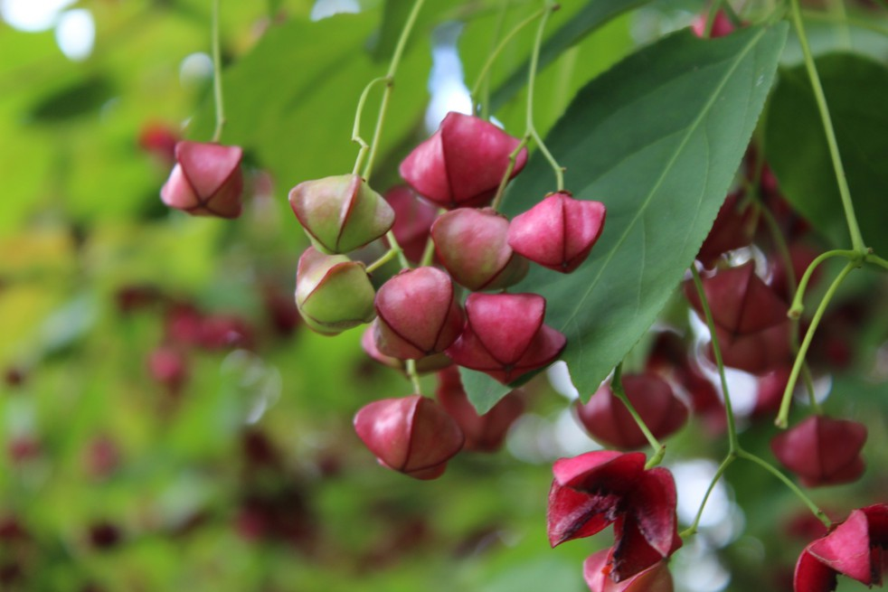 Planipes Spindle tree