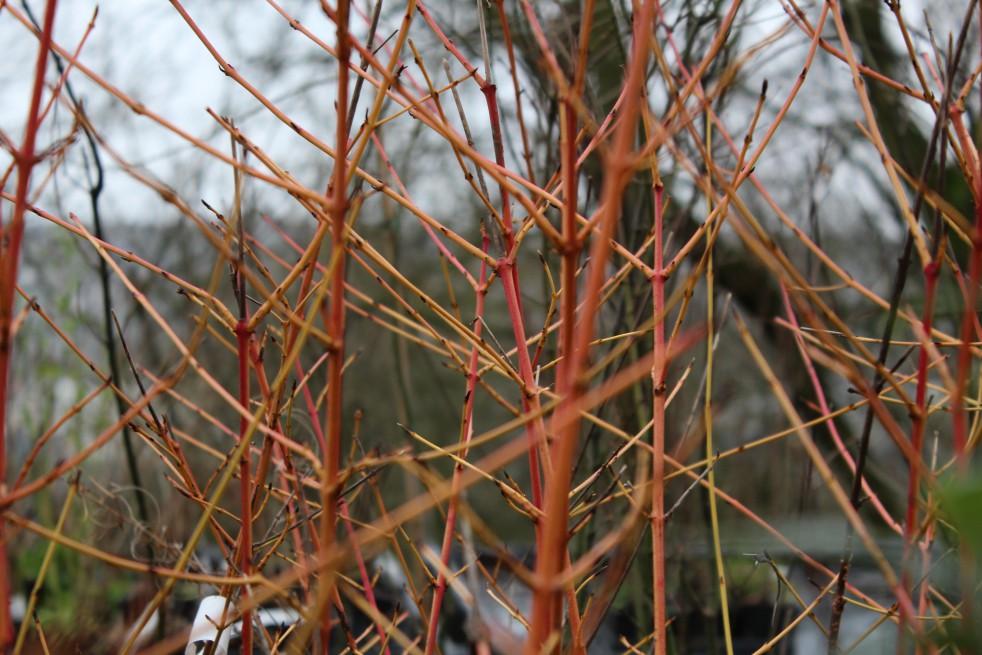 Common dogwood  winter beauty