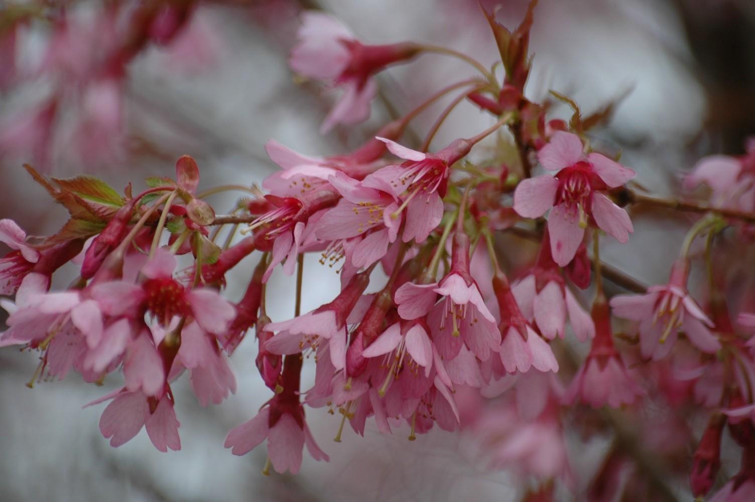 Hauteur Cerisier Du Japon cerisier du japon okamé