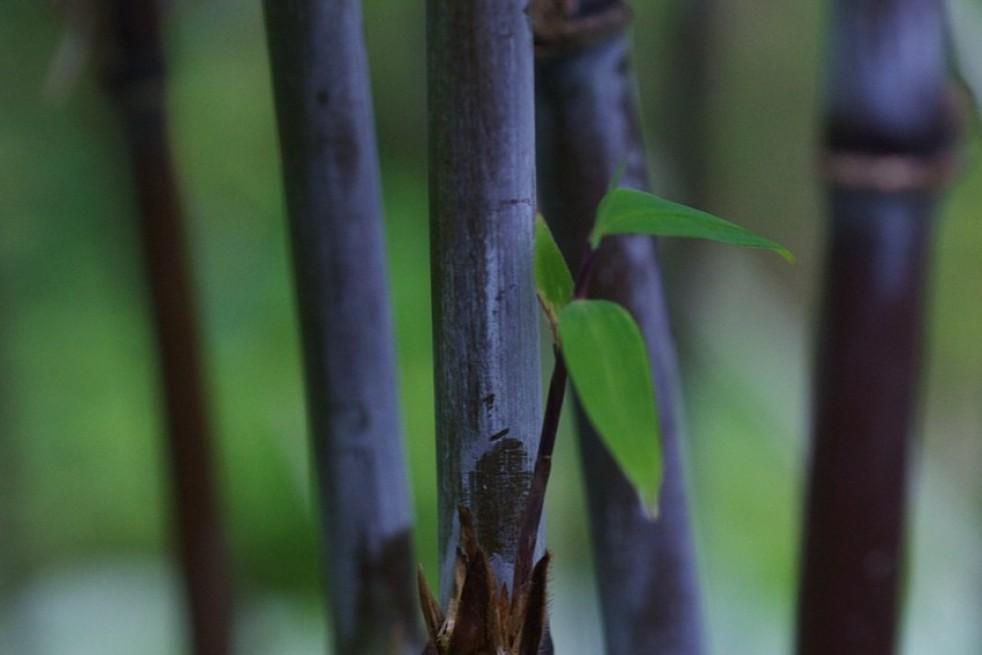 Bambou Noir Black Dragon