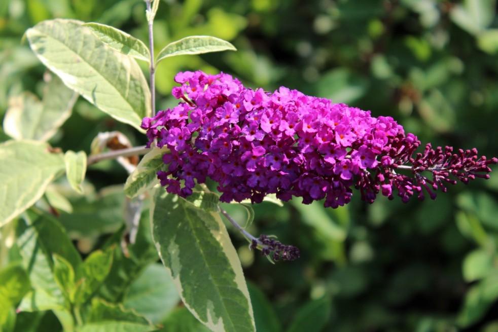 Butterfly-bush Harlequin