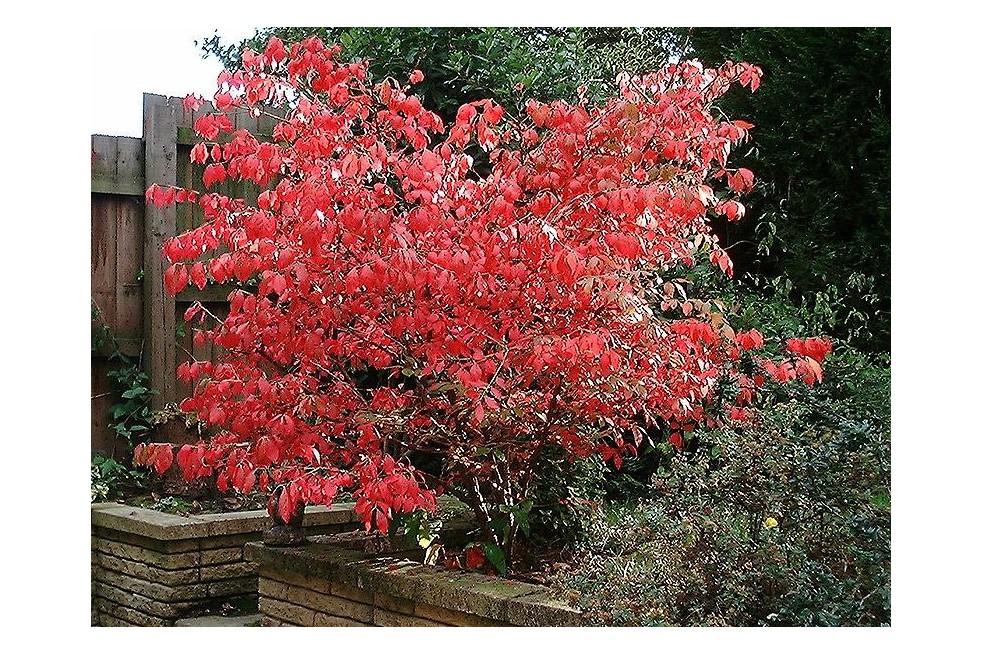 Eunonymus Alatus - Winged spindle-tree