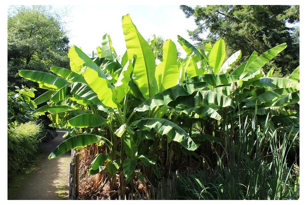 Banana tree__musa_basjoo