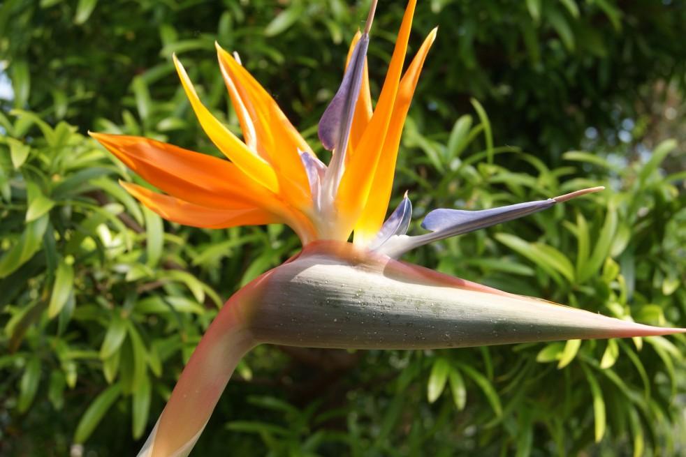 Oiseau Du Paradis Strelitzia Reginae