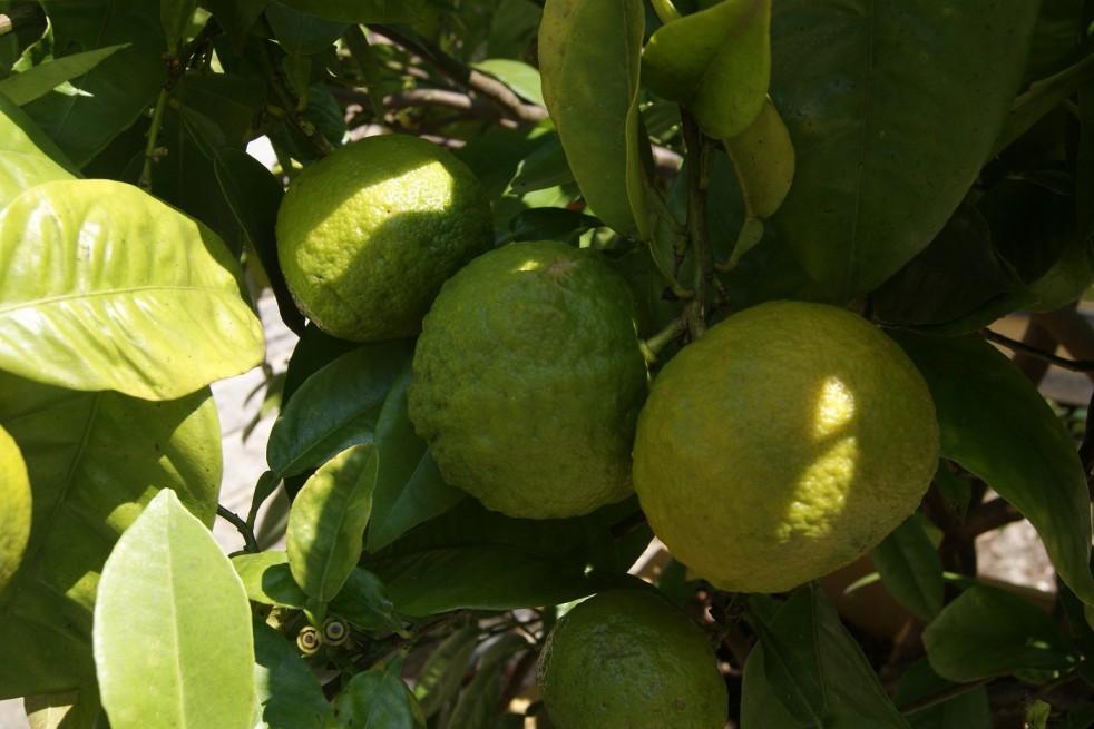 Oranger de Séville