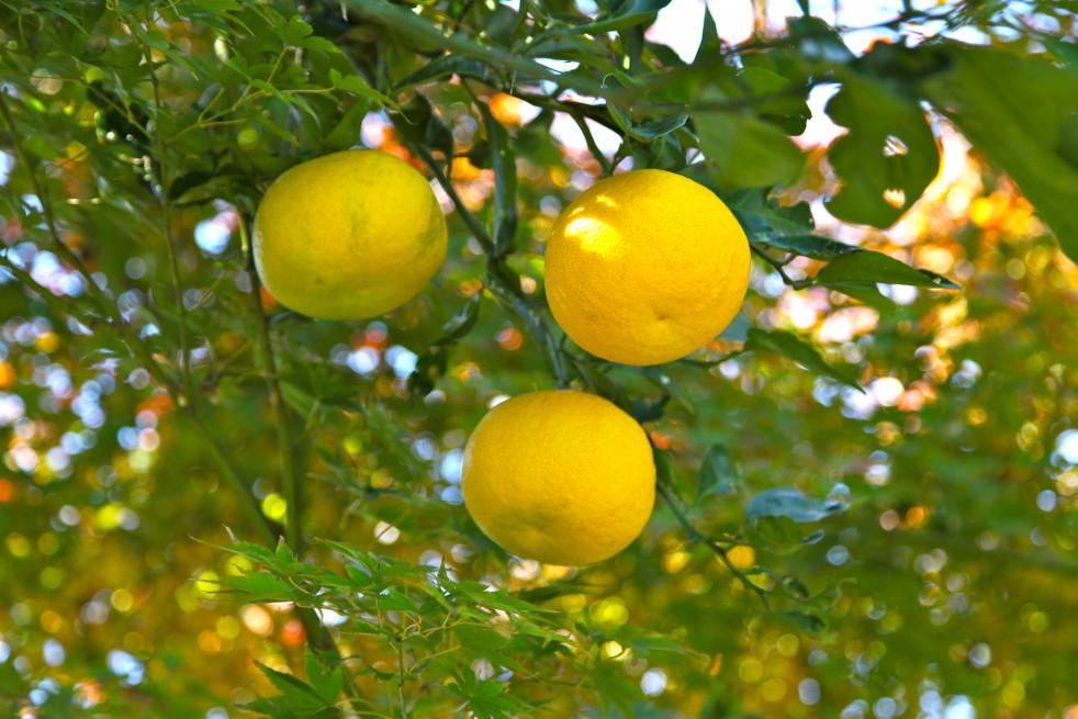 Citronnier du japon, Yuzu
