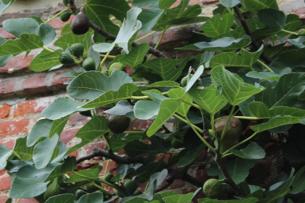 Fig tree Violette Dauphine