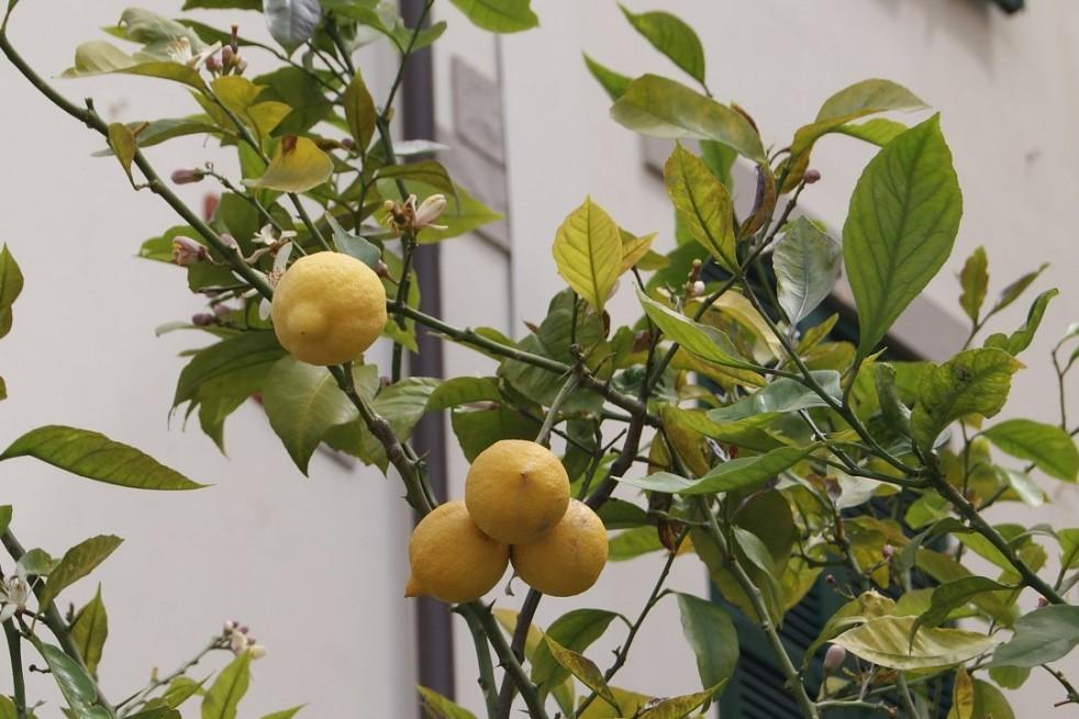 Citroenboom 4 seizoenen
