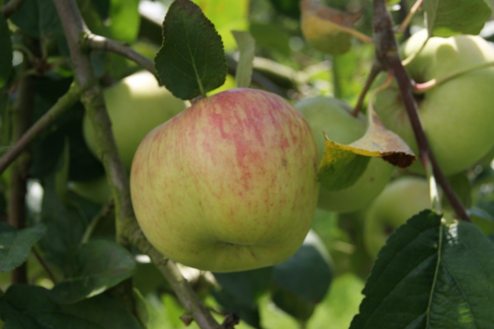 Double Bellflower apple tree