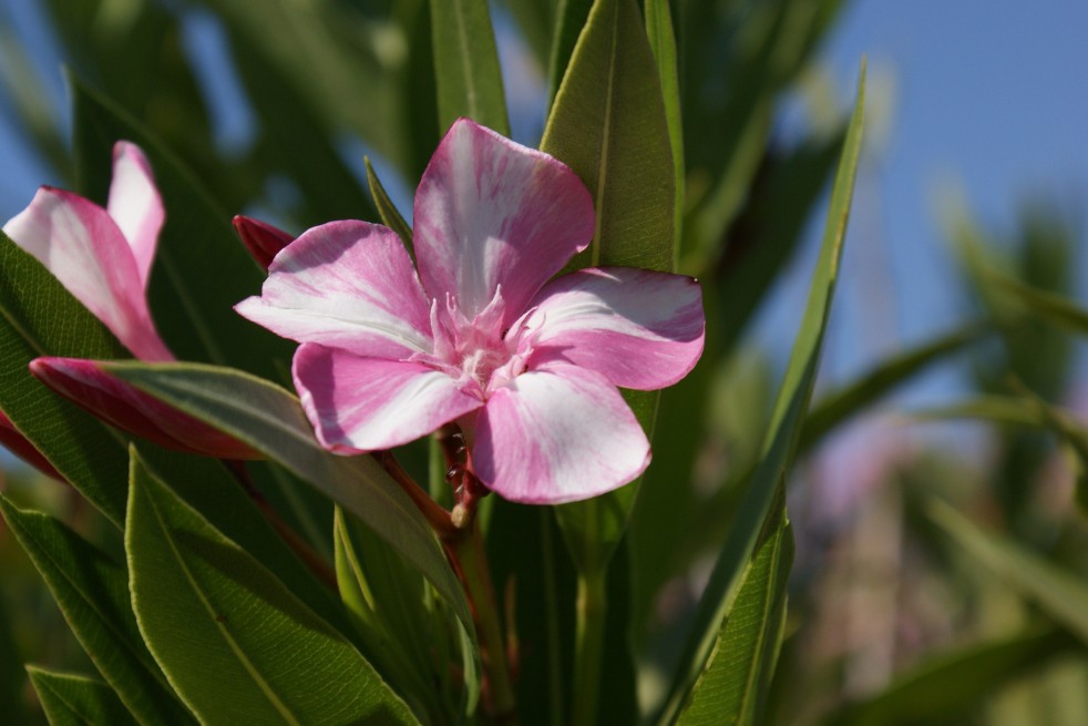 Nerium - Rose laurel Simie