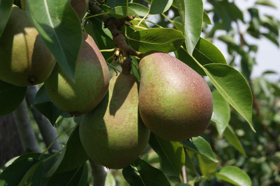 Pear tree Obelisk® « columnar »
