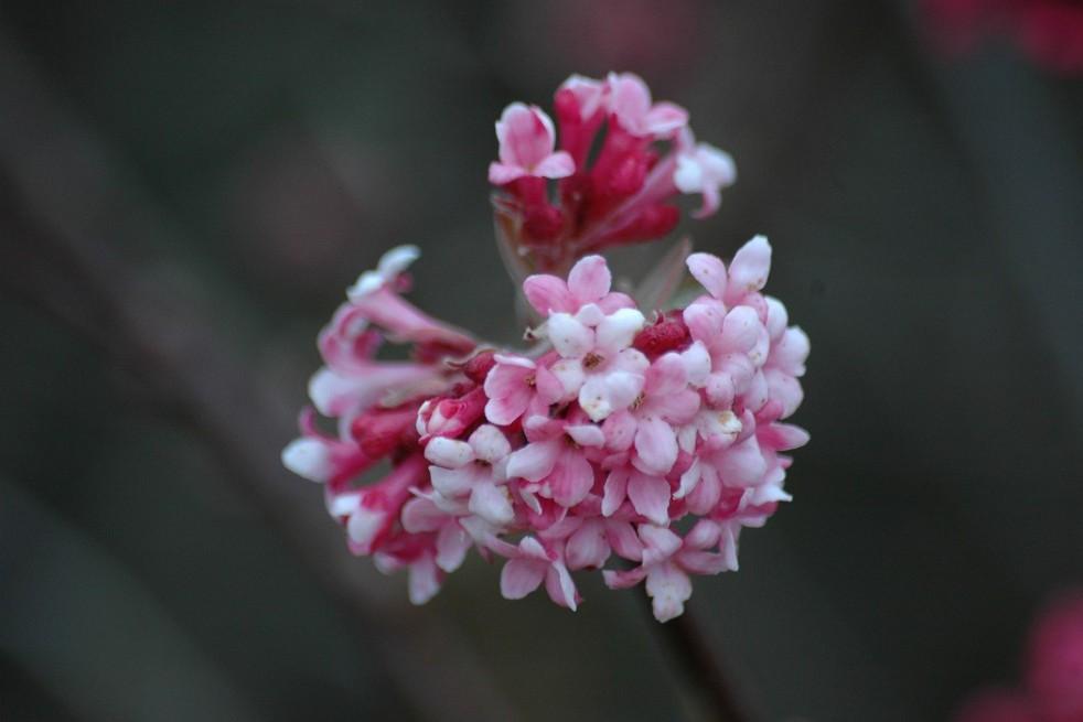 Pink Charles Lamont Viburnum