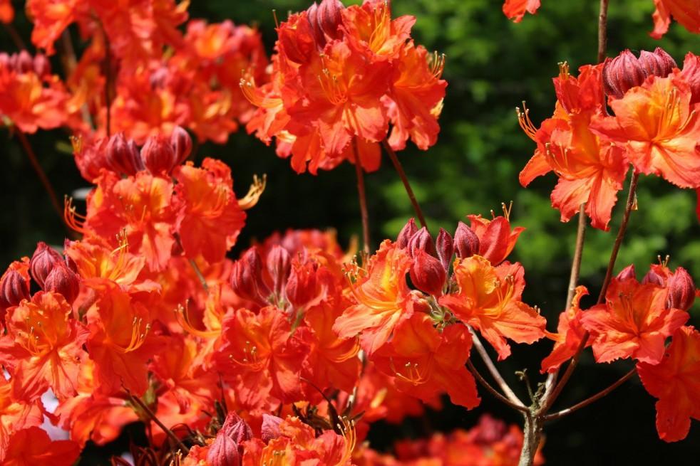 Chinese Azalea Hotspur Red
