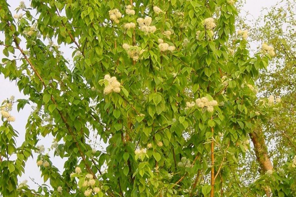 Cerisier de Mandchourie